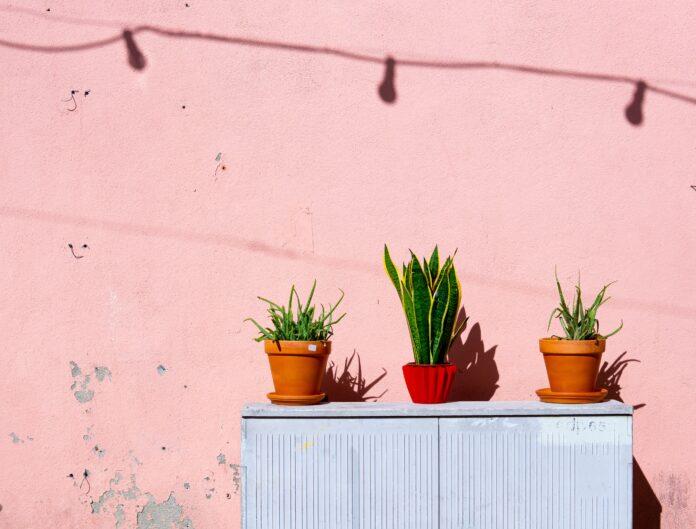 Żelazna roślina zamiokulkas - jak wygląda uprawa i pielęgnacja?
