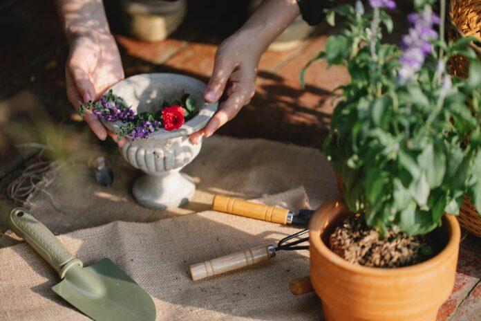 Jak uprawiać szałwię omszoną w swoim ogrodzie?