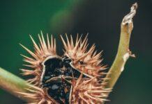 Datura - jak wygląda uprawa i pielęgnacja tej wymagającej rośliny?